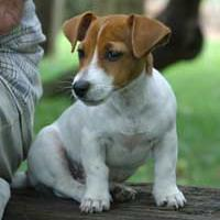 Jack Russell Terrier in tan and white.jpg