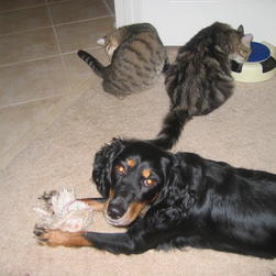 Penny playing with her toy, and with our two kittens in the background