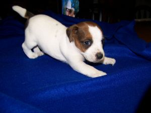 Jack Russell Terrier puppy playing.jpg