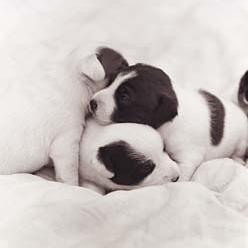 three blach and white Jack Russell Terrier puppies.jpg