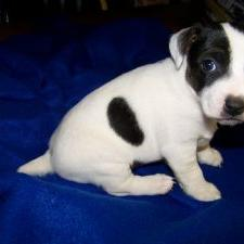 white and black Jack Russell Terrier puppy.jpg