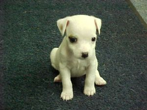 White Jack Russell Terrier puppy.jpg