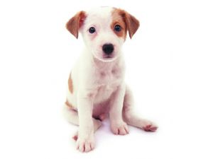 cut looking Jack Russell Terrier puppy.jpg