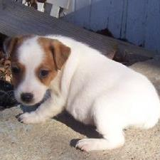 cute Jack Russell Terrier puppy in white n tan.jpg