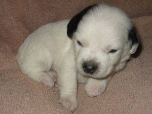 Jack Russell Terrier puppy in white with black dots.jpg