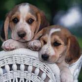 two cute Basset puppies.jpg