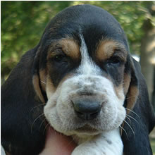 Basset puppy in three colors.jpg
