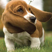 Basset puppy with big ears.jpg
