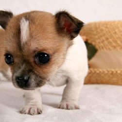 Chihuahua puppy with big eyes.jpg