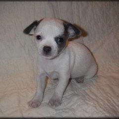 young Chihuahua puppy in white with black dots.jpg