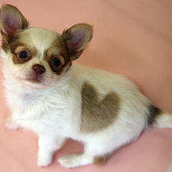 long hair Chihuahua puppy.jpg