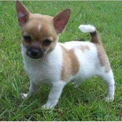 Chihuahua puppy in white and tan with black nose.jpg