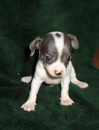 cute young Chihuahua puppy in white and black.jpg