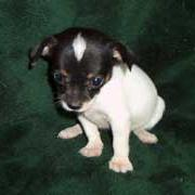 sweet looking Chihuahua puppy.jpg