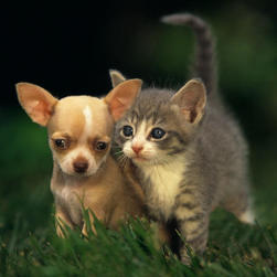 Chihuahua puppy and kitten.jpg