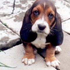 basset pup with big and long ears.jpg