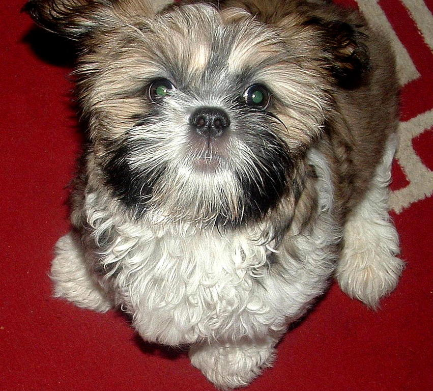 Shih Tzu Belle at 16 Weeks