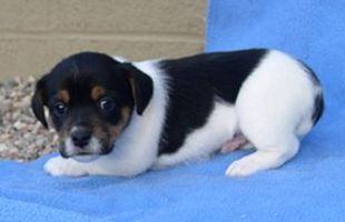 Jack Russell Terrier with black spots.jpg