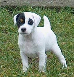 Jack Russell Terrier With Circle Black Eyes Jpg 2 Comments
