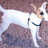 Jack Russell Terrier with tan spot on the one eye.jpg