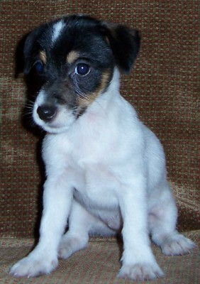 jack russell terrier black and white - photo #21