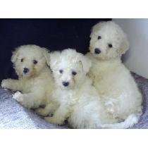 Three cute Bichon puppiesjpg.jpg