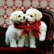 two white  Bichon puppies.jpg