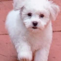 Beautiful Bichon Frise puppujpg.jpg