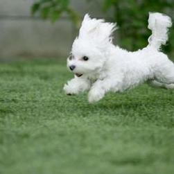 Bichon  Frise puppy on running.jpg