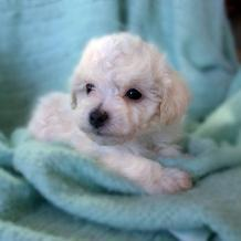Bichon cute puppy.jpg