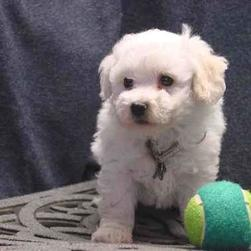 Bichon playing with a ball.jpg