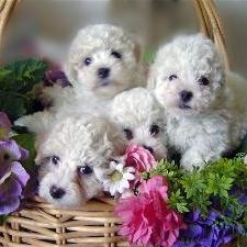 Bichon puppies in backet.jpg