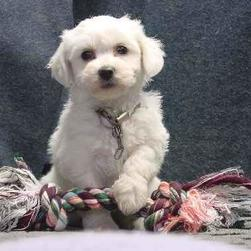 Bichon puppy playing.jpg