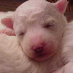 Bichon young puppy.jpg