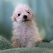 Cute Bichon puppy.jpg