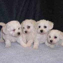 Four white Bichon puppies.jpg