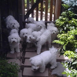 Nine beautiful Bichon puppies.jpg