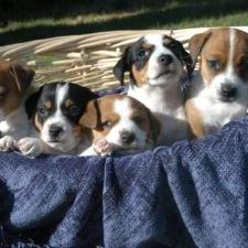 Jack Russell Terrier_puppies in group.jpg