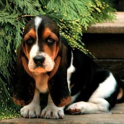 basset pup with three colors.jpg