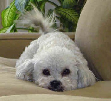 cute looking Bichon puppy.jpg