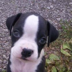 co cute looking boxer pup.jpg