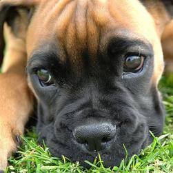 cute boxer close up face.jpg