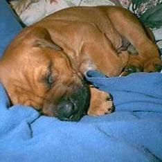 sleeping boxer puppy.jpg