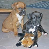 two boxer puppies playing.jpg