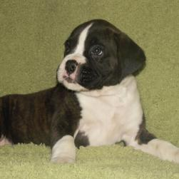 white and brownish black boxer puppy.jpg
