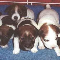 jack_russell_terrier_puppies.jpg