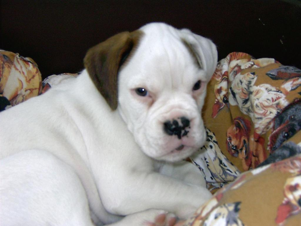 white boxer puppy with brown ear.jpg