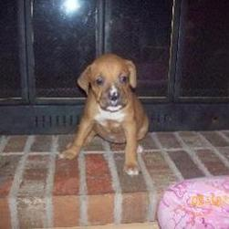 young boxer puppy on the fireplace.jpg