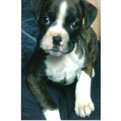 black, brown and white boxer puppy.jpg