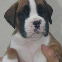 boxer pup in tan and white with black on eyes.jpg